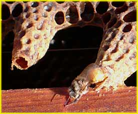 The life cycle of the honey bee colony - Summer - Part 3