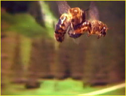 Mating of Queen and Dr... Queen Honey Bee Mating