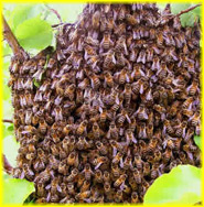 Bee swarm in the branches of a tree