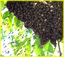 Bees forming a swarm